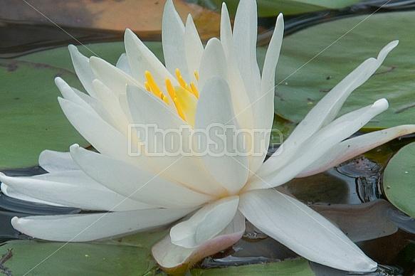pond lilies
