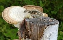 Mushrooms lined up