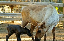 Adult Reindeer With Calf
