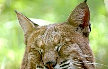 Bobcat Lynx